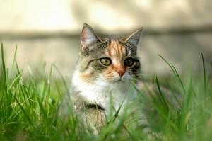 strange cat behaviour eating grass
