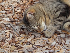 strange cat behaviour eating strange things